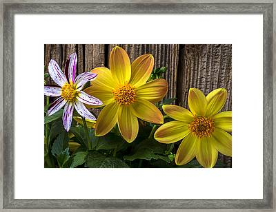 Three Dahlias Framed Print by Garry Gay