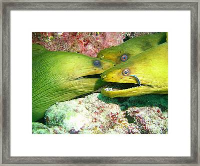Three Eels Framed Print by Carey Chen