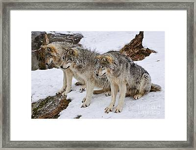 Three Kings Framed Print by Wolves Only