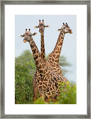 Three Masai Giraffe Standing Framed Print by Panoramic Images