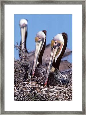 Three Nesting Brown Pelicans Framed Print by Thomas Wiewandt