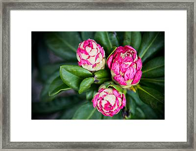 Three Pink Flowers Framed Print by Courtney DeGregorio