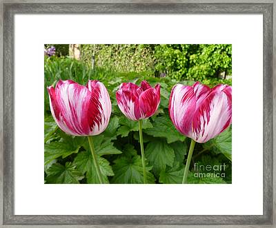 Three Pink Rembrandt Tulips Framed Print by Lingfai Leung