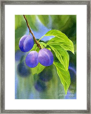 Three Purple Plums With Background Framed Print by Sharon Freeman