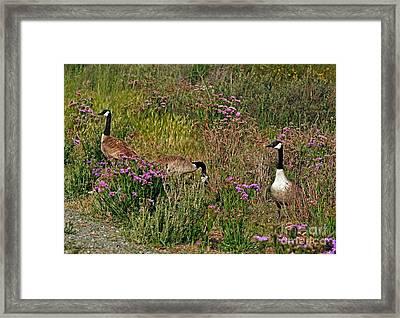 Three Quiet Canada Geese Framed Print by Susan Wiedmann