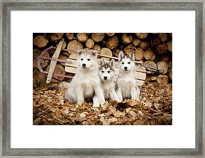 Three Siberian Husky Puppies Sit In Framed Print by Jeff Schultz