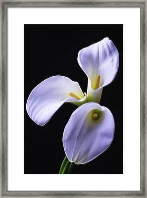 Three Soft Calla Lilies Framed Print by Garry Gay