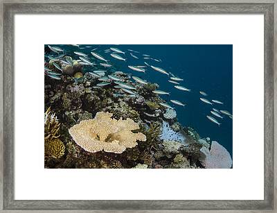 Three-striped Fusiliers And Coral Reef Framed Print by Pete Oxford