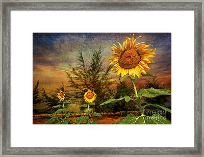 Three Sunflowers Framed Print by Adrian Evans