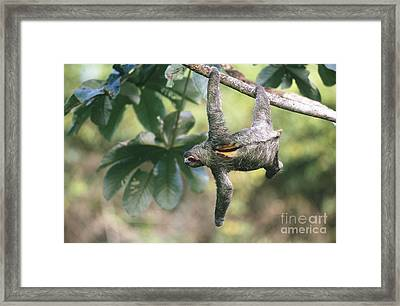 Three-toed Sloth Framed Print by Art Wolfe