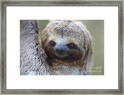 Three-toed Sloth Framed Print by BG Thomson