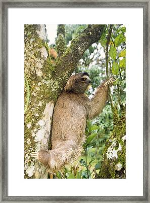 Three-toed Sloth Framed Print by M. Watson