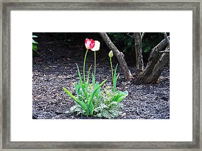 Three Tulips Framed Print by Aimee L Maher Photography and Art Visit ALMGallerydotcom