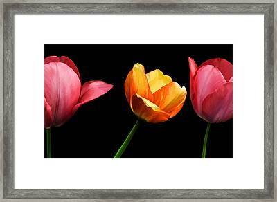 Spring Tulips Framed Print by Steven  Michael