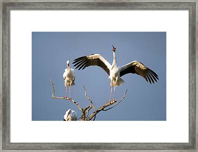 Three White Storks Ciconia Ciconia Framed Print by Panoramic Images