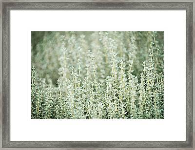 Thyme  Framed Print by Elena Elisseeva