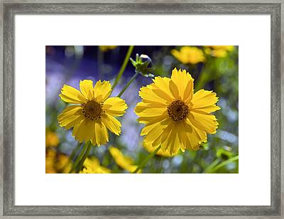 Tickseed (coreopsis Sp.) Framed Print by Science Photo Library