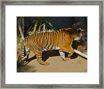 Tiger Beat Framed Print by Denise Mazzocco