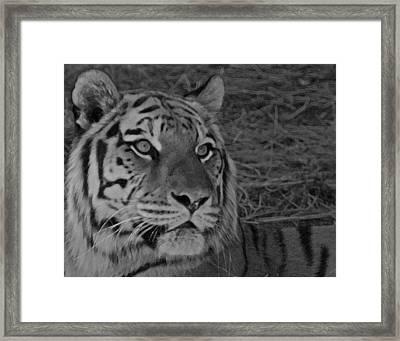 Tiger Bw Framed Print by Ernie Echols