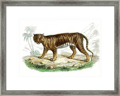 Tiger Framed Print by Collection Abecasis