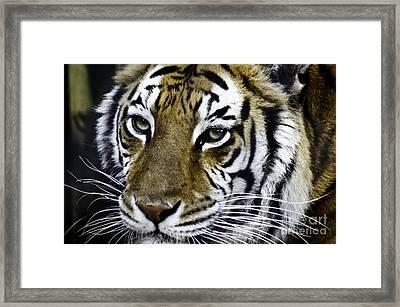 Tiger Framed Print by D C