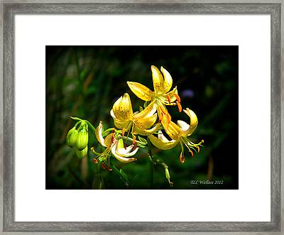 Tiger Lily Framed Print by Tammy Wallace