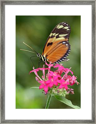 Tiger Longwing Framed Print by Juergen Roth