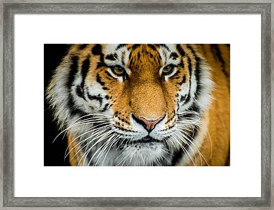 Tiger Framed Print by Mirra Photography