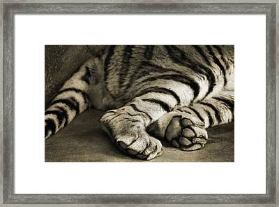 Tiger Paws Framed Print by Dan Sproul