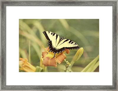 Tiger Swallowtail Framed Print by Kim Hojnacki