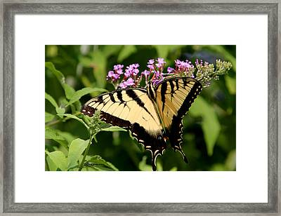 Tiger Swallowtail On Butterfly Bush 1 - Featured In The Wildlife And Nature Groups Framed Print by EricaMaxine  Price
