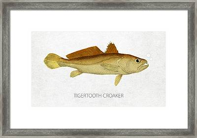 Tigertooth Croaker Framed Print by Aged Pixel