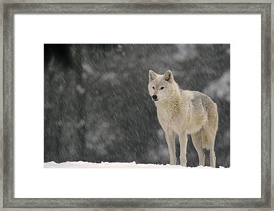 Timber Wolf Female North America Framed Print by Gerry Ellis
