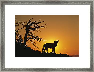 Timber Wolf Howling Framed Print by Alan & Sandy Carey