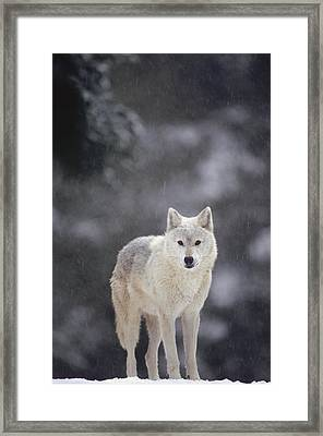 Timber Wolf In Falling Snow Framed Print by Gerry Ellis