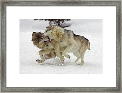 Timber Wolf  Pair Montana Framed Print by Matthias Breiter