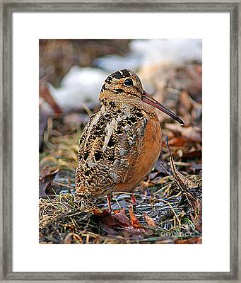 Timberdoodle The American Woodcock Framed Print by Timothy Flanigan
