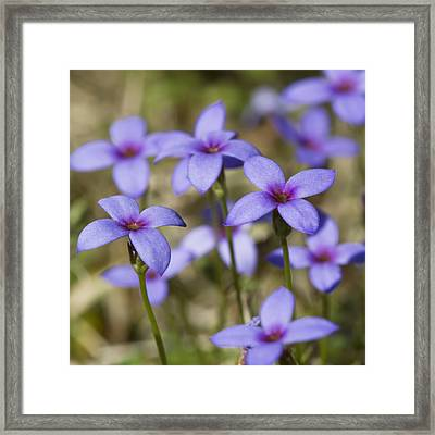 Tiny Bluet Wildflowers Framed Print by Kathy Clark