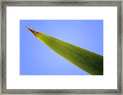 Tip Of An Iris Leaf Isolated On Blue Framed Print by Donald  Erickson