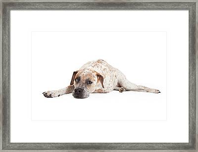 Tired Pointer Crossbreed Laying Framed Print by Susan  Schmitz