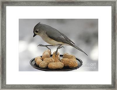 Titmouse Dance Framed Print by Heidi Piccerelli