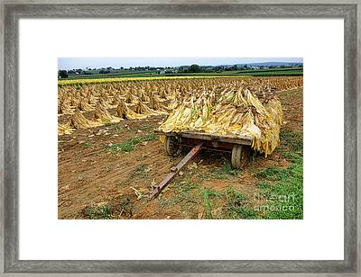 Tobacco Harvest Framed Print by Olivier Le Queinec