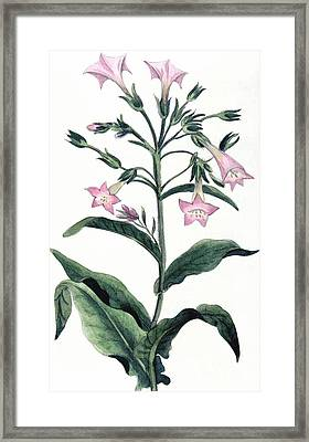 Tobacco Nicotiana Tabacum Framed Print by Anonymous