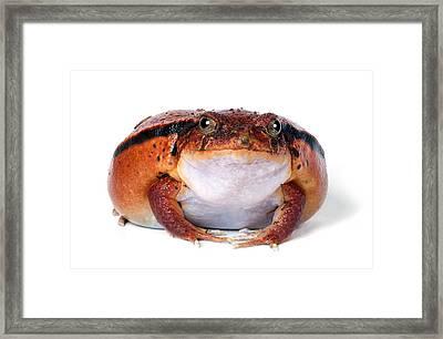 Tomato Frog Framed Print by Robert Jensen