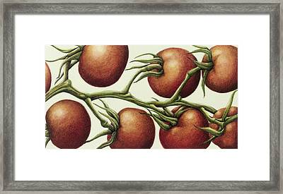 Tomato Vine, 1999 Wc On Paper Framed Print by Annabel Barrett