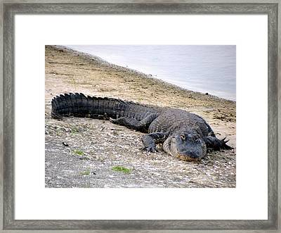 Too Full. American Alligator Framed Print by Zina Stromberg