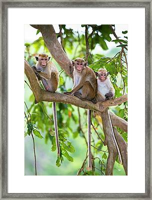 Toque Macaque Family Group Framed Print by Peter J. Raymond