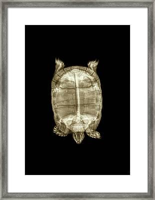 Tortoise Under X-ray Framed Print by Photostock-israel