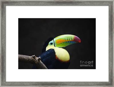 Toucan Framed Print by D C