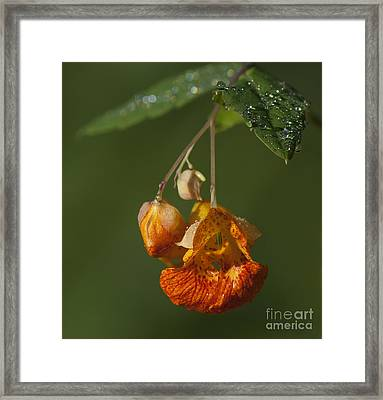 Touch Me Not.. Framed Print by Nina Stavlund
